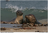 Gray Seal - Gray Seals