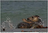 Gray Seal - Gray Seals - Fun in The Water