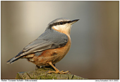 Eurpean Nuthatch - European Nuthatch