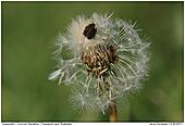 Dandelion - Dandelion Seed