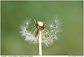 Dandelion - Dandelion