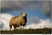 Sheep - Sheep