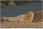 Common Seal - Common Seal Baby