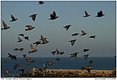 European Starling - Flock of Starlings