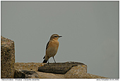 Wheatear - On a bunch of stones