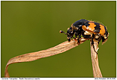 Beetle - Necrophorus vespillo - Beetle - Necrophorus vespillo