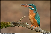 Common Kingfisher - Kingfisher