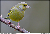 Greenfinch - Greenfinch - Male