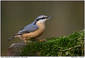 Nuthatch - European Nuthatch