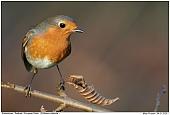 European Robin - Robin