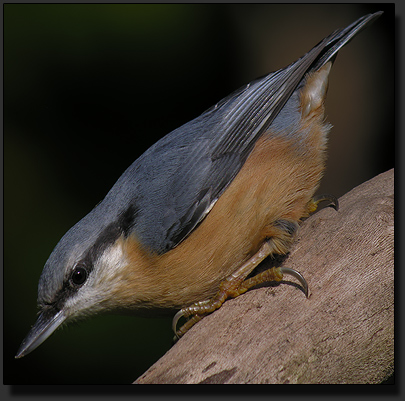 Nuthatch, photographed with Nikon Coolpix 8400 ans Kowa Spotting Scope at in ISO setting of ISO 50