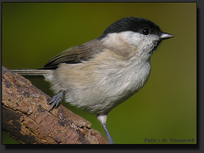 Marsh Tit, photographed with Nikon Coolpix 8400 and Kowa Prominar TSN 884