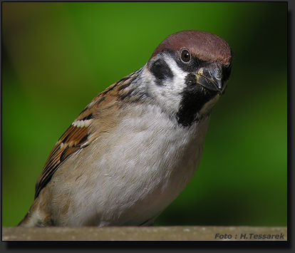 Tree Sparrow, photographed with Nikon Coolpix 8400 and Kowa Spotting Scope. ISO sensicity set at 100.